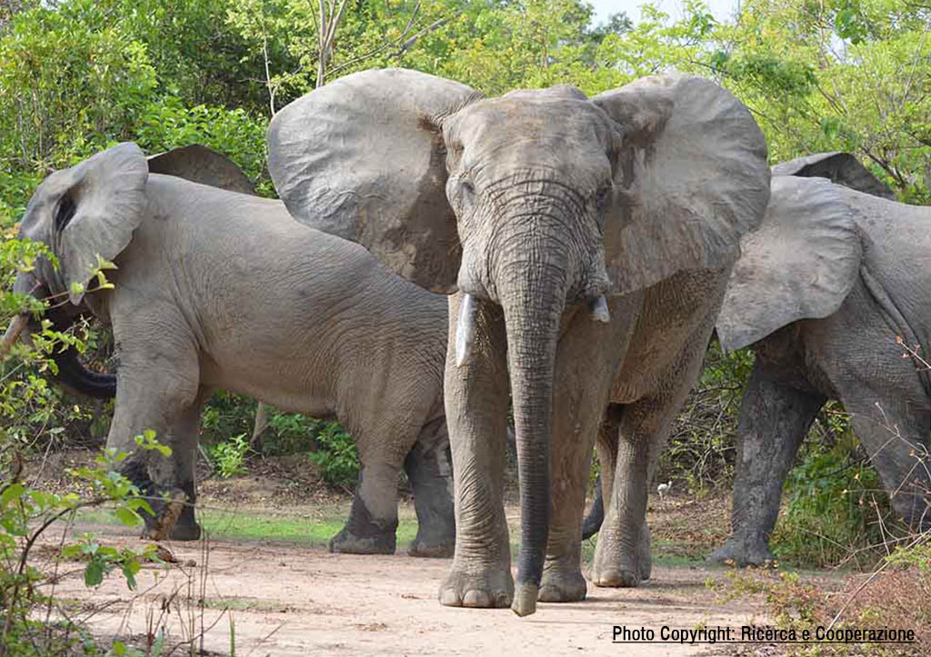 Elephants of Mole National Park, Ghana
